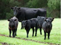 Cows In Field - Fertility Management